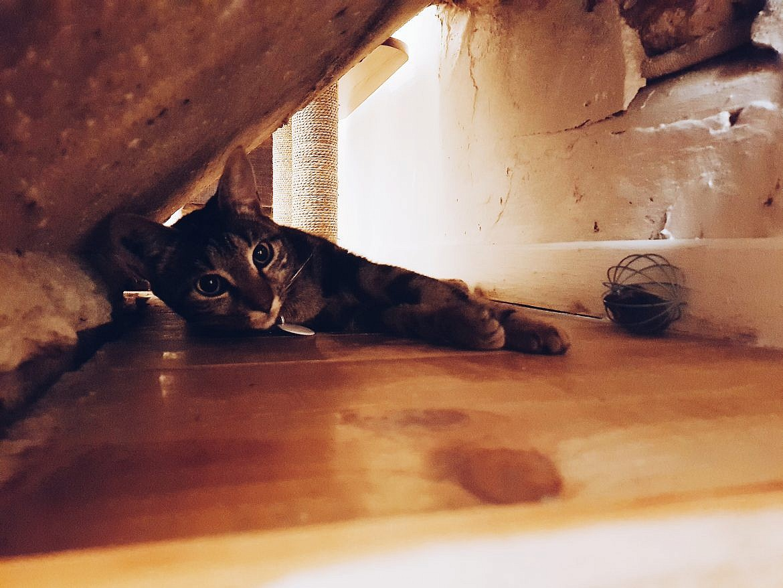 le-chat-gourmand-montpellier-otis-femelle